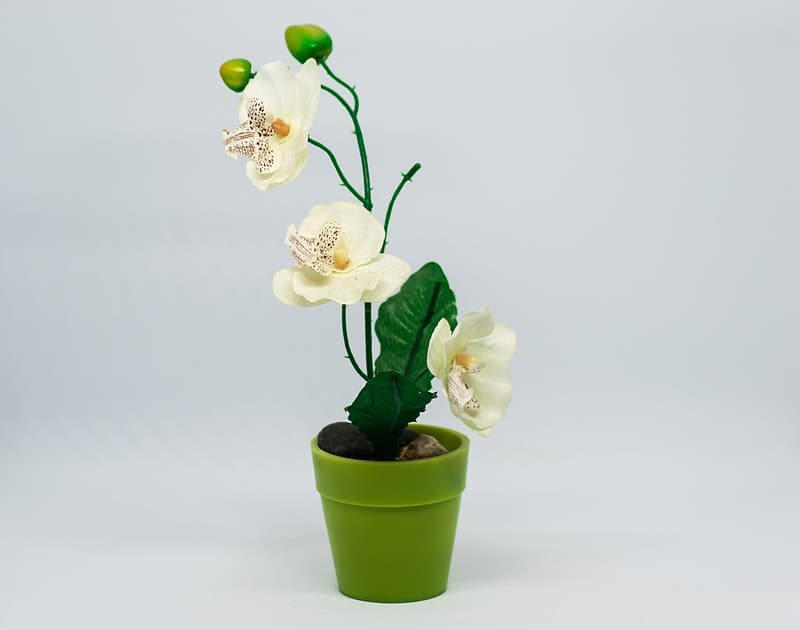 White moth orchids in green ceramic vase