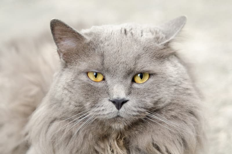 Long-fur gray cat