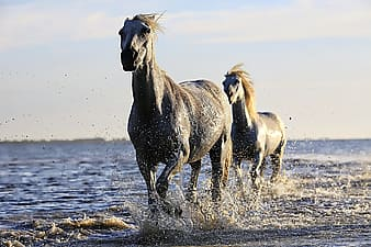 Two gray horse running in body of water