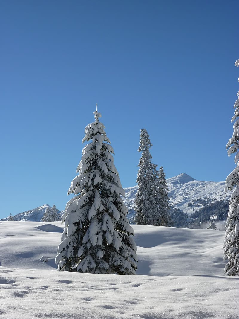 Pine tree covered with snow during daytime