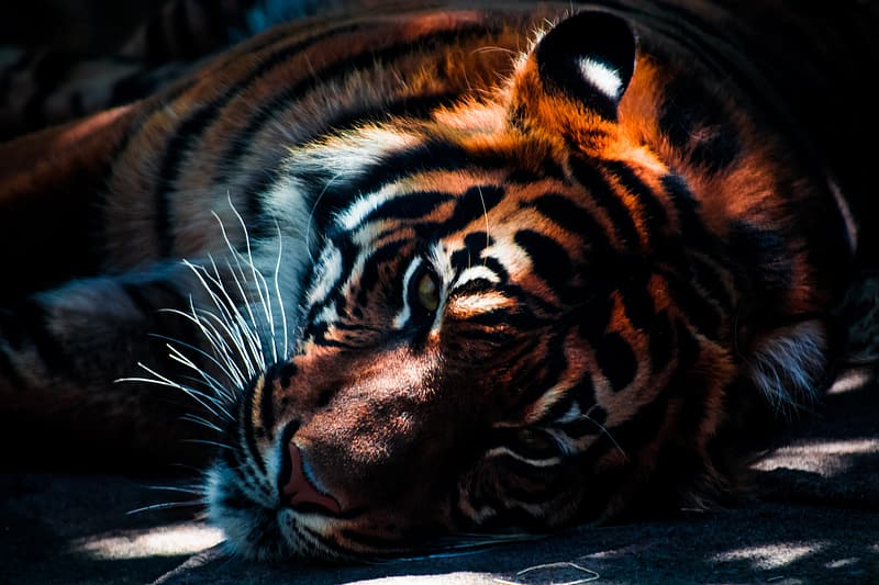 Orange and black tiger lying on ground