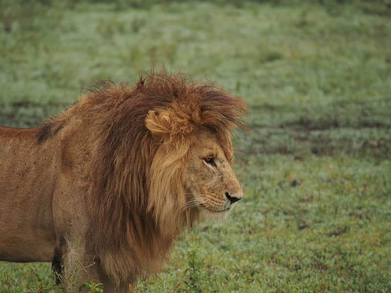 Brown lion in the middle of the field
