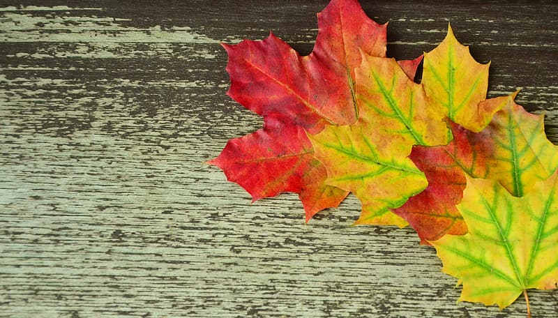 Four red-and-yellow maple leaves
