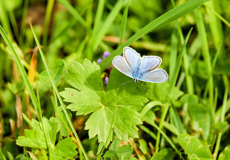 Silver studded blue butterfly perched on green leaf plant