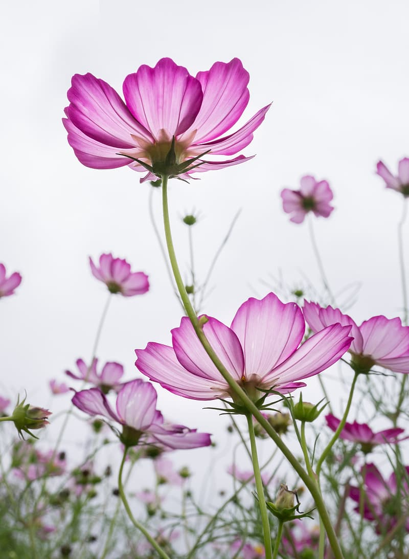 Selective focus photography of pink cosmos flower field