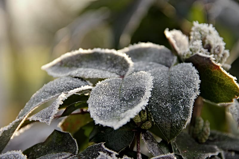 Photo of snow covered green leaves