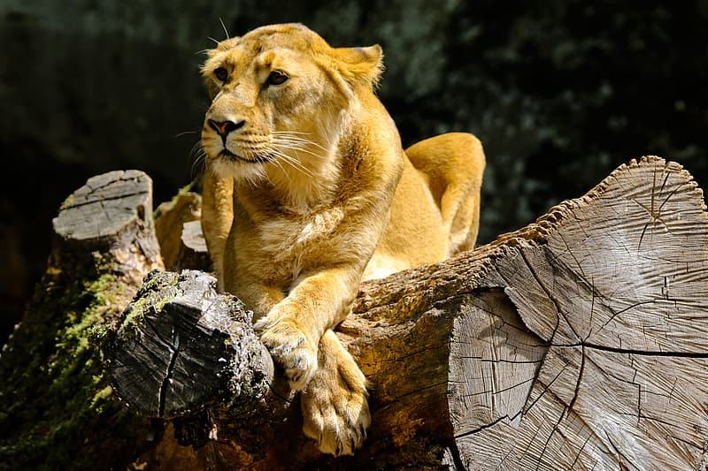 Brown lioness on brown wood log during daytime