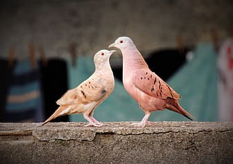 Two brown birds facing each other