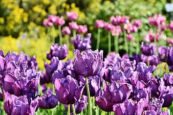 Close up photo of purple tulip flower field at daytime