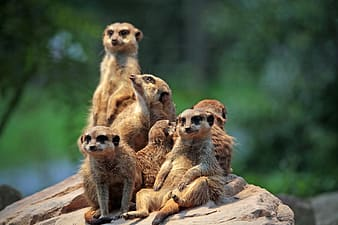 Group of brown meerkat