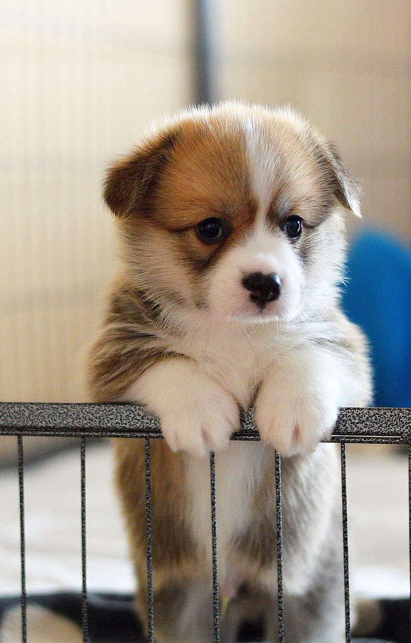 Brown and white puppy on blue textile