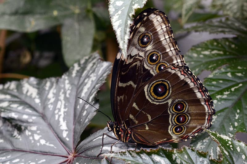 Morpho butterfly on green leaf at daytime