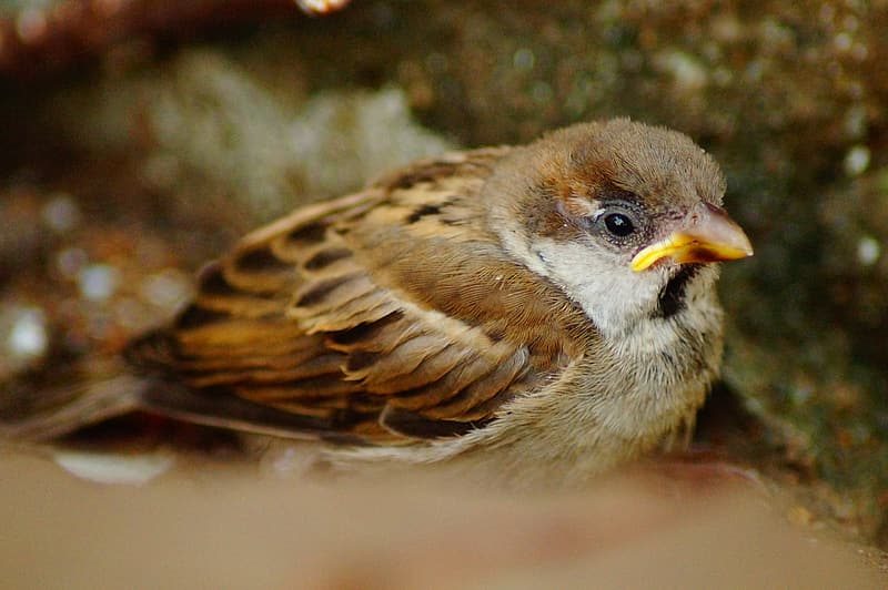 Brown and black sparrow