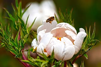 Honeybee perched on white petaled flower in close up photography during daytime