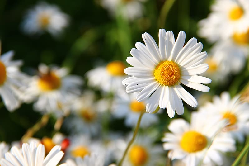 Shallow focus photo of white and yellow daisies