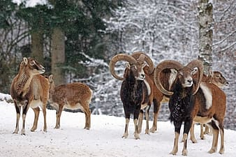Pack of brown animals on snow field