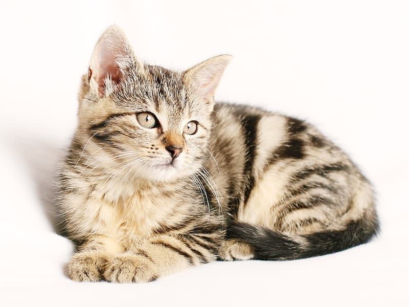 Brown Tabby cat with white background