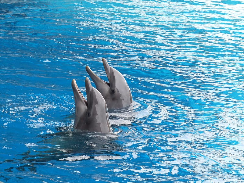 Two grey dolphins in body of water