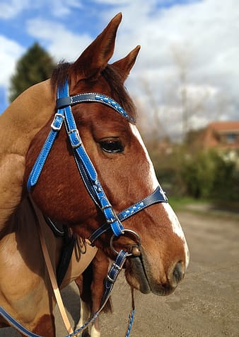 Brown horse with red leather strap