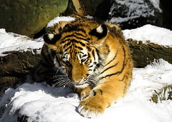 Wildlife photography of brown and white tiger