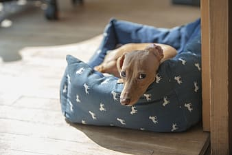 Tan dachshund in the pet bed