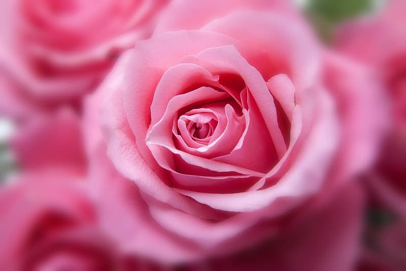 Pink rose flower selective focus photo