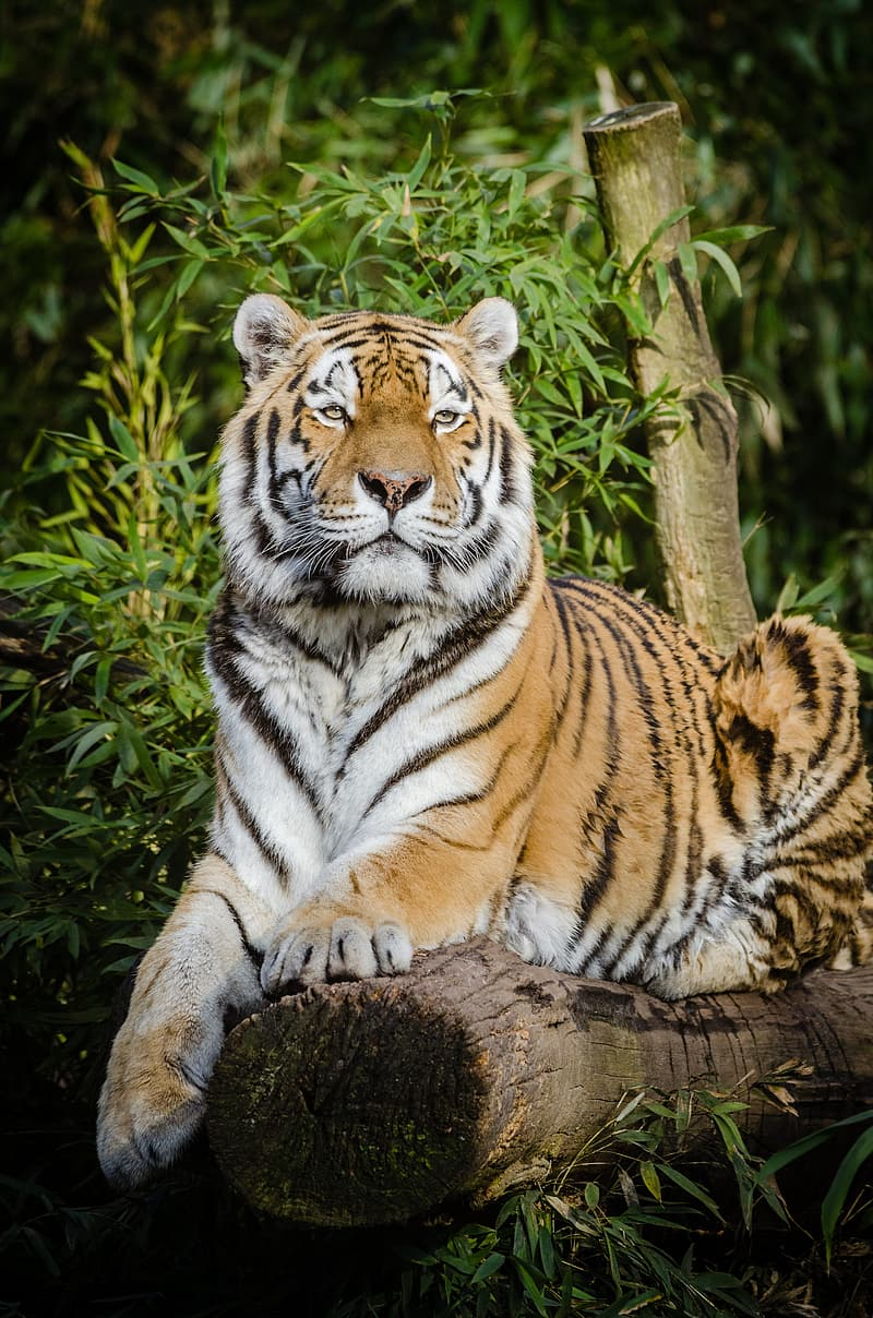 Tiger lying on tree trunk