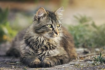 Brown and gray maine coon cat