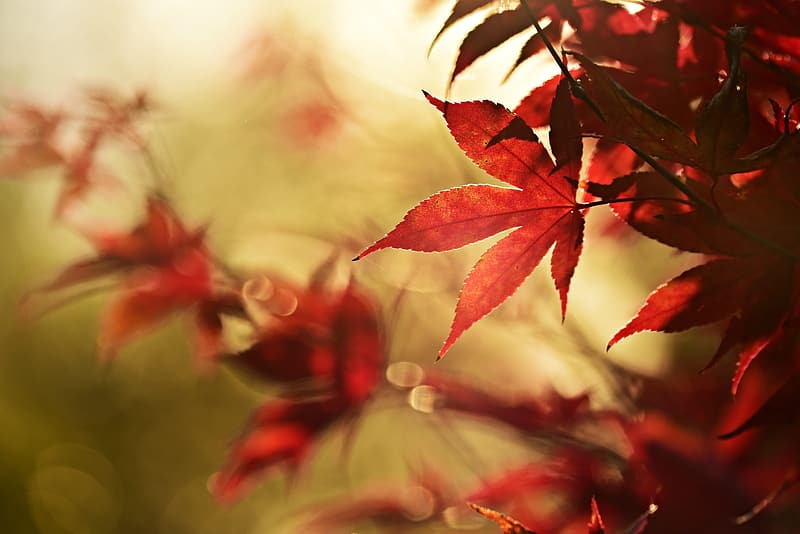 Red leaves in tilt shift lens