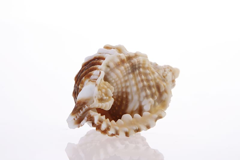 White and brown seashell on white background
