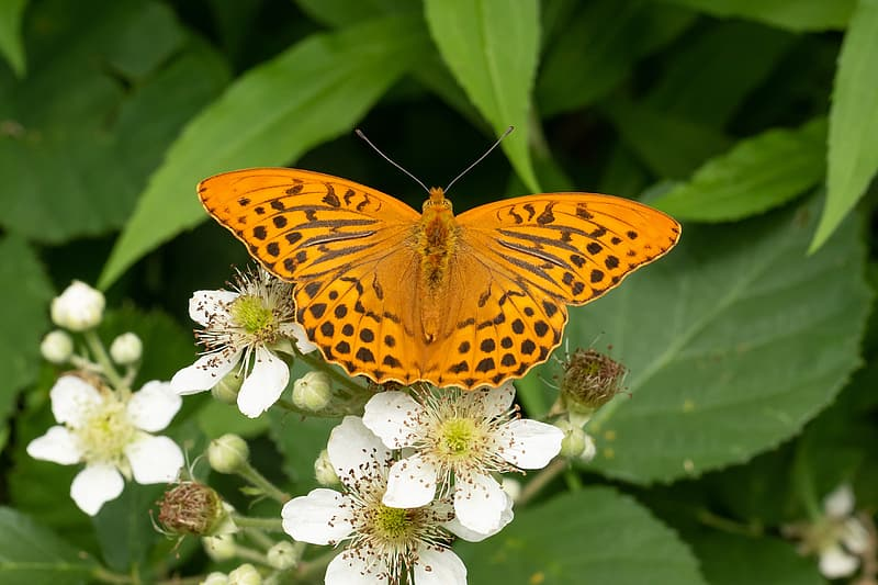 Close-up photo of gulf fritillary butterfly on white petaled flower during daytime