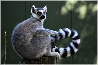 Shallow focus photography ring tailed lemur