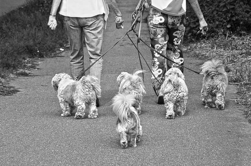 Grayscale photo of two person walking with five small dogs