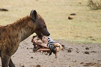 Brown animal eating zebra head