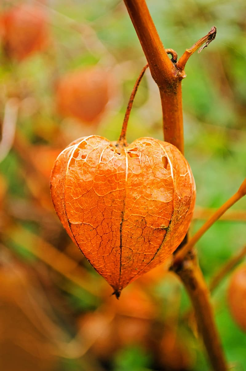 Selective focus photography of physalis fruit