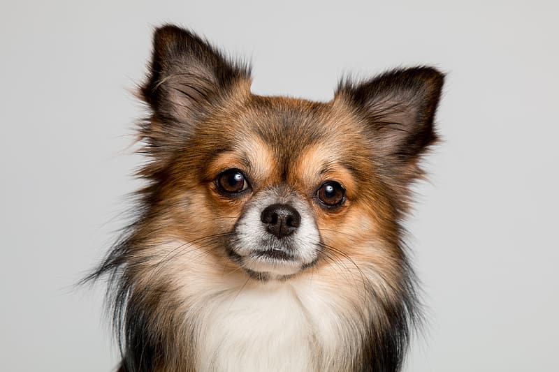 Black and tan papillon puppy