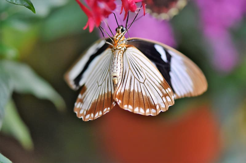 Brown white and black butterfly perched on pink flower in close up photography during daytime