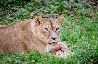 African Lion, brown lioness lying on green grass during daytime