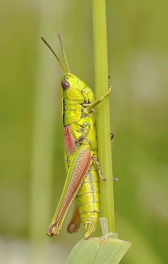 Green locust perched on green stem closeup photography