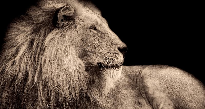 Grayscale photo of lion lying on rock
