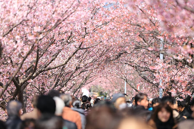 People walking on park with cherry blossom trees