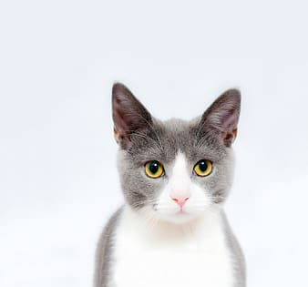 White and black cat with white background