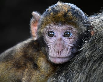 Macro photography of brown and black monkey