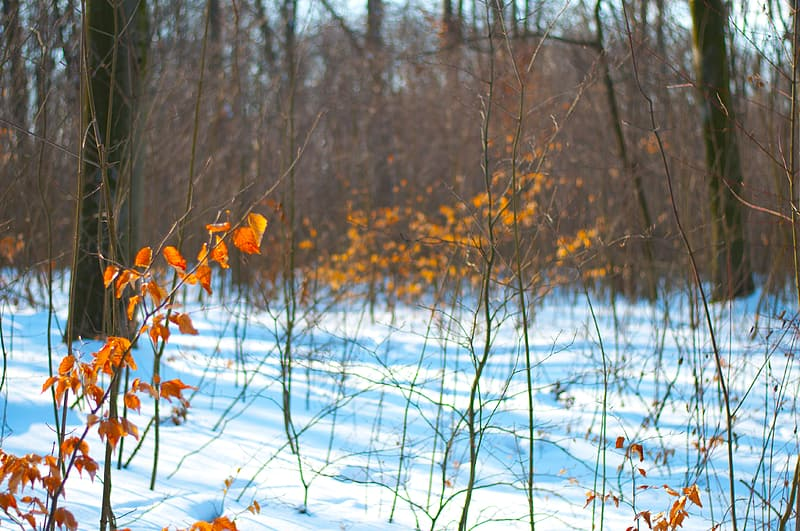 Brown dried leaves on snow covered ground