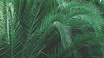 Green sago palm plant