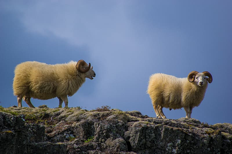 White sheep on gray rock under blue sky during daytime