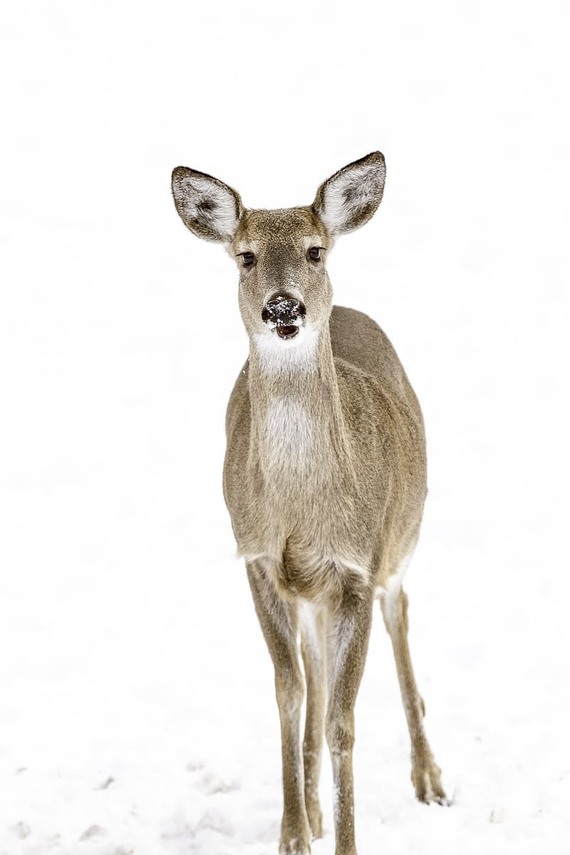 Brown deer standing on snow covered ground
