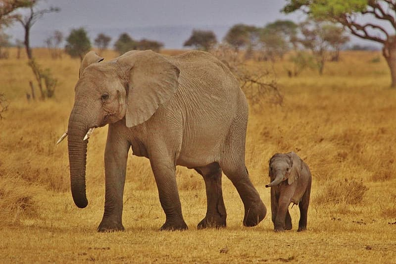 Gray elephant and its baby