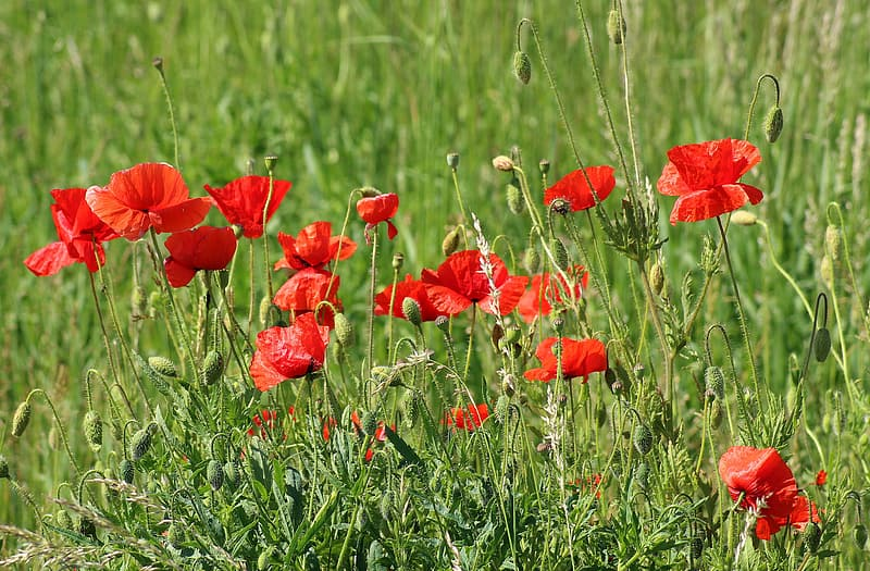 Photo of red poppy flowers during daytime