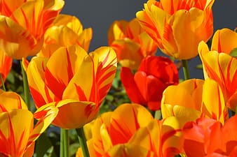 Orange and red tulips flowers